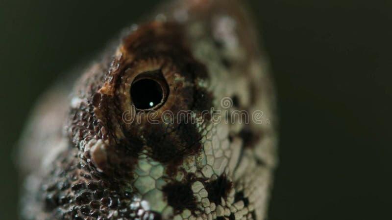 Los volans del Draco, el lagarto que vuela común, son especies de lagarto endémicas a Asia sudoriental fotos de archivo libres de regalías