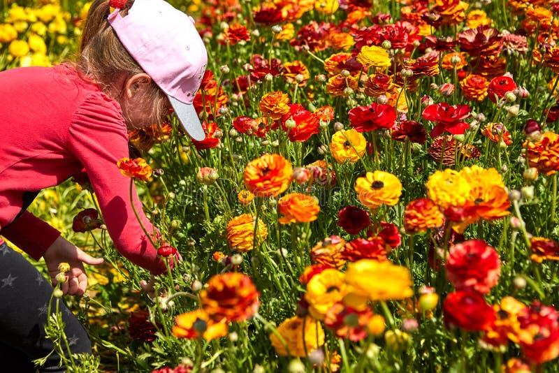 Los wildflowers florecientes son ranúnculos, rojo y amarillo, en un kibutz en Israel meridional Recoja las flores fotografía de archivo