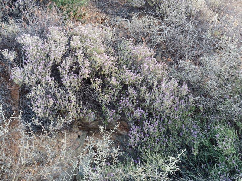 Los Wildflowers púrpuras adentro friegan densamente imagen de archivo