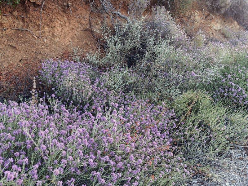 Los Wildflowers púrpuras adentro friegan densamente fotos de archivo