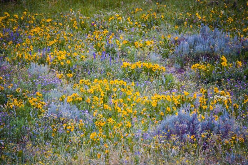 Wildflowers de Colorado del comienzo del verano foto de archivo libre de regalías