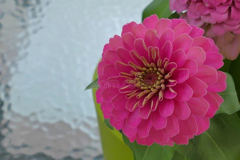 Los Zinnias son flores populares del jard?n porque vienen en una amplia gama de colores de la flor fotos de archivo libres de regalías