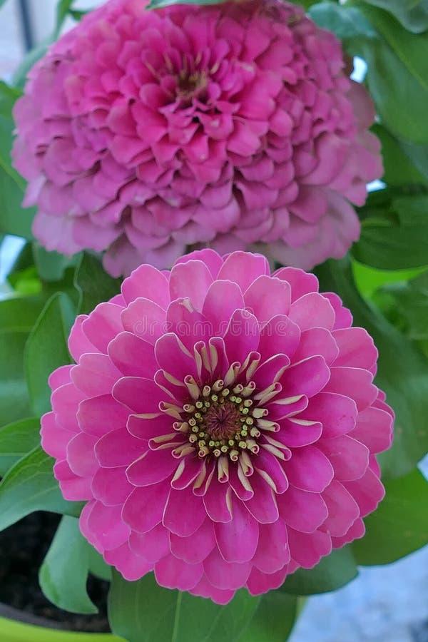 Los Zinnias son flores populares del jard?n porque vienen en una amplia gama de colores de la flor imagenes de archivo