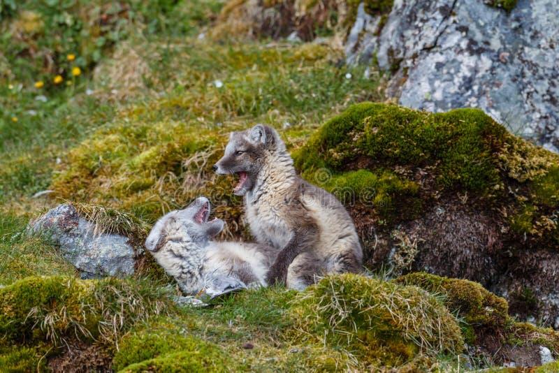 Los zorros árticos se juegan en la hierba verde fotografía de archivo