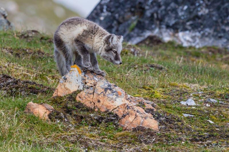 Los zorros árticos se sientan en la piedra roja en una roca y se están preparando para cazar foto de archivo