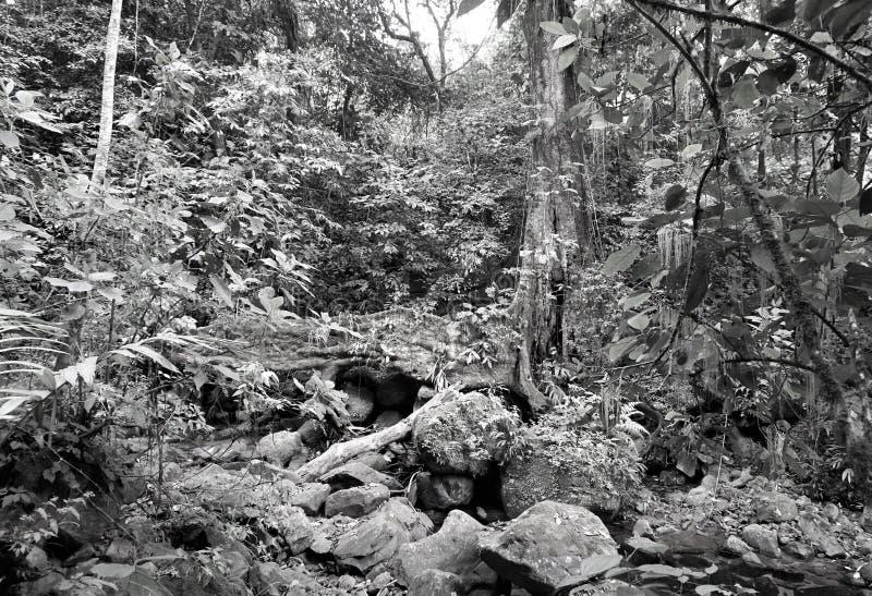 Losbandige gematigde regenwoudvegetatie in zwart-wit stock foto
