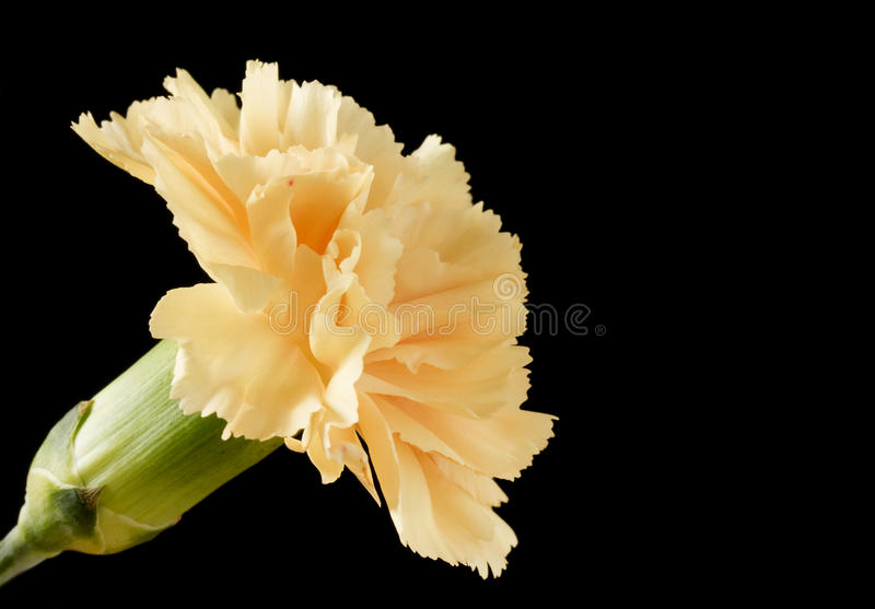 Lose up image of one carnation royalty free stock images