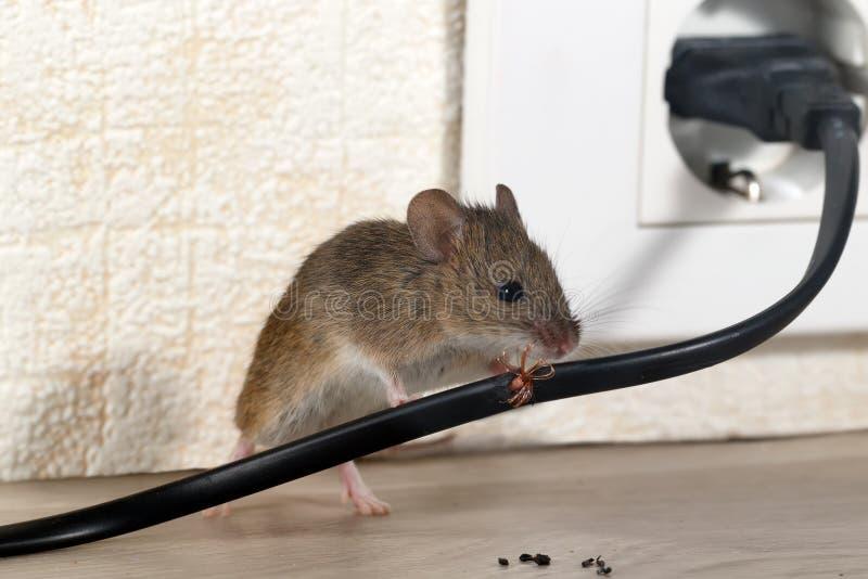 Loseup de muis Ñ  knaagt aan draad in een flatgebouw op de achtergrond van de muur en de elektroafzet stock foto