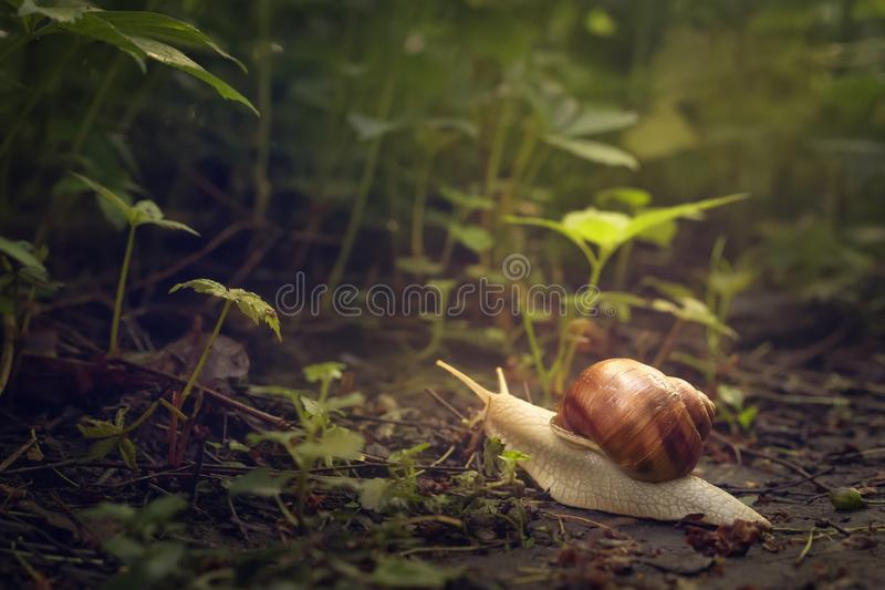 Loseup de un caracol de jardín crowling en un camino de tierra en luz del sol foto de archivo