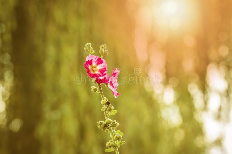 loseup of a pink common hollyhock flower, Alcea rosea, an ornamental plant in the family Malvaceae. stock photo