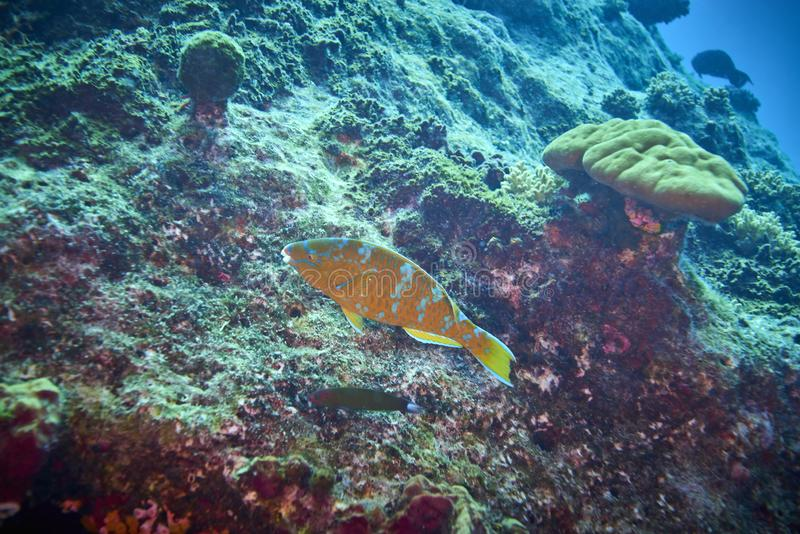 Losin south of Thailand 2018. Beautiful diving underwater with Fishes and Corals at Losin south of Thailand 2018 stock images