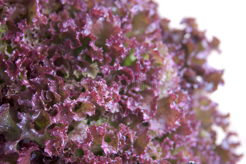 Download Losso Rollo Lettuce stock image. Image of groceries, nature - 7229379