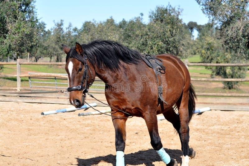 Losstürzen eines Pferds stockfotografie