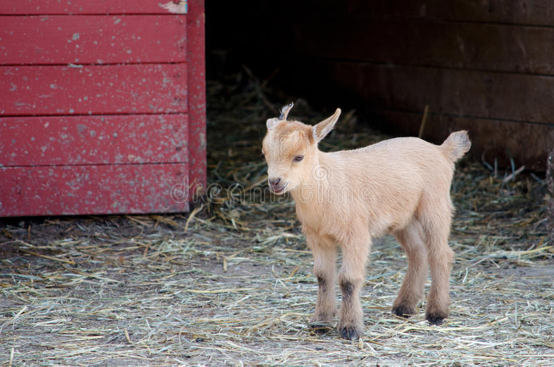 Lost Baby Goat Royalty Free Stock Image