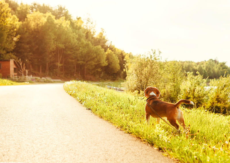 Lost beagle dog with leash looks on empty road stock photos