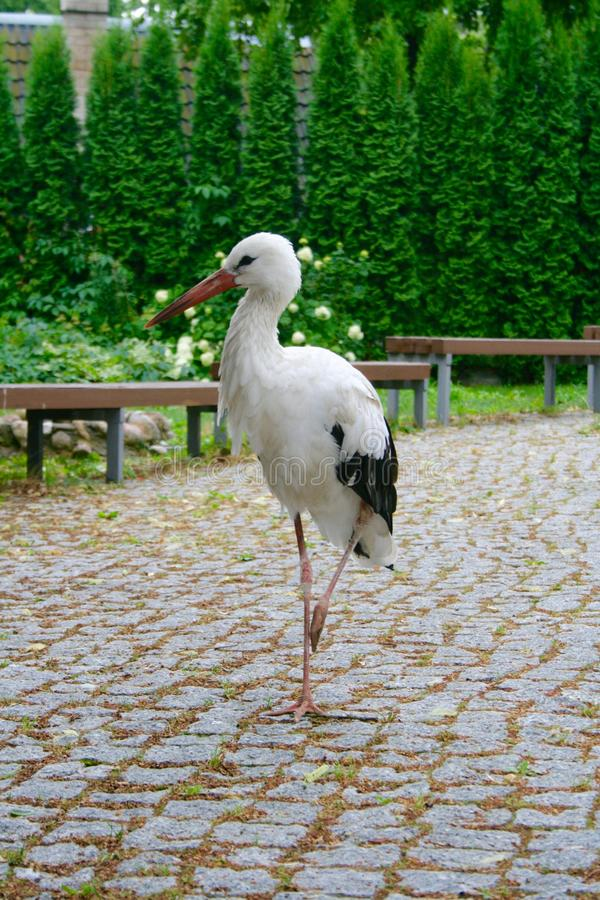 Lost beautiful stork walking in a town royalty free stock image