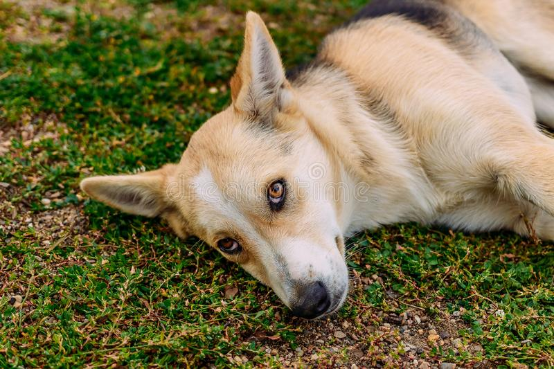 The lost dog with sad eyes lies on the green grass royalty free stock photos