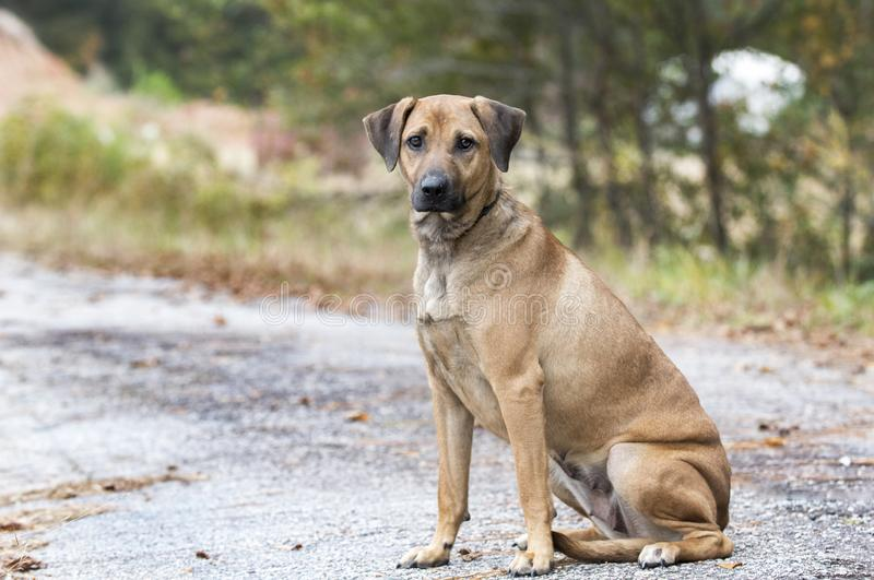 Lost dog on the side of the road. Female not spayed Black Mouth Cur hound mutt outdoors on leash in fall. Sad puppy eyes. Dog rescue pet adoption photograph for royalty free stock image