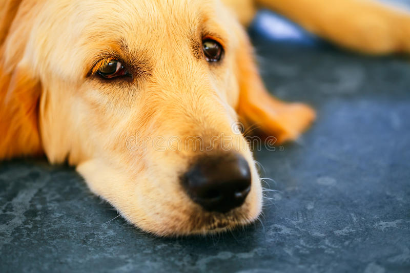 Lost Homeless Hungry Golden Labrador Retriever Dog ​​Sleeping On Cold Floor stock photos