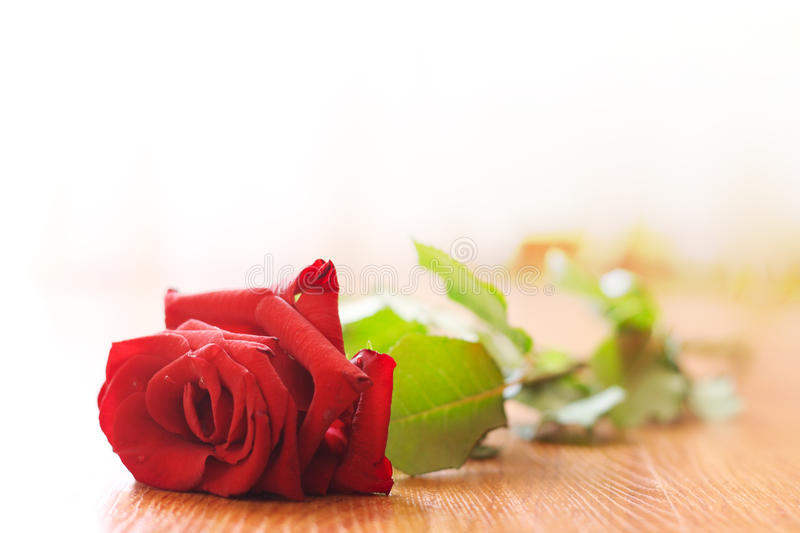 The lost love. The rose lays on a floor stock photo