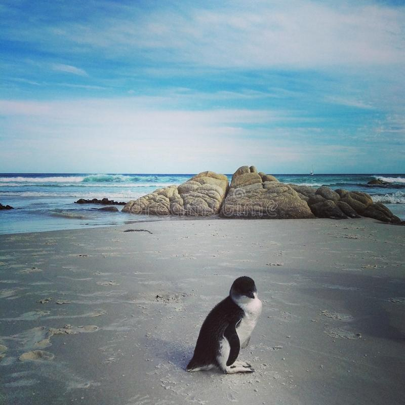 Lost penguin in a tasmanian paradise beach. We found this little penguin laying on a desert beach in the wild island of Tasmania, Australia. He was all alone stock photo
