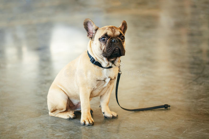 Lost Sad Dog French Bulldog sitting on floor royalty free stock images