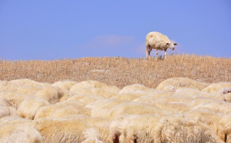 Download Lost sheep stock image. Image of herd, different, green - 15564127