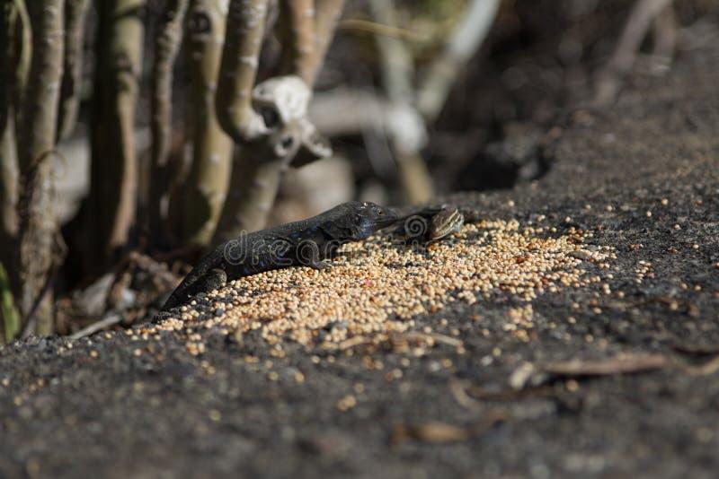 Losu Angeles Palmy jaszczurki Tizon Gallotia galloti typowy palmae w Los Może zdjęcia stock