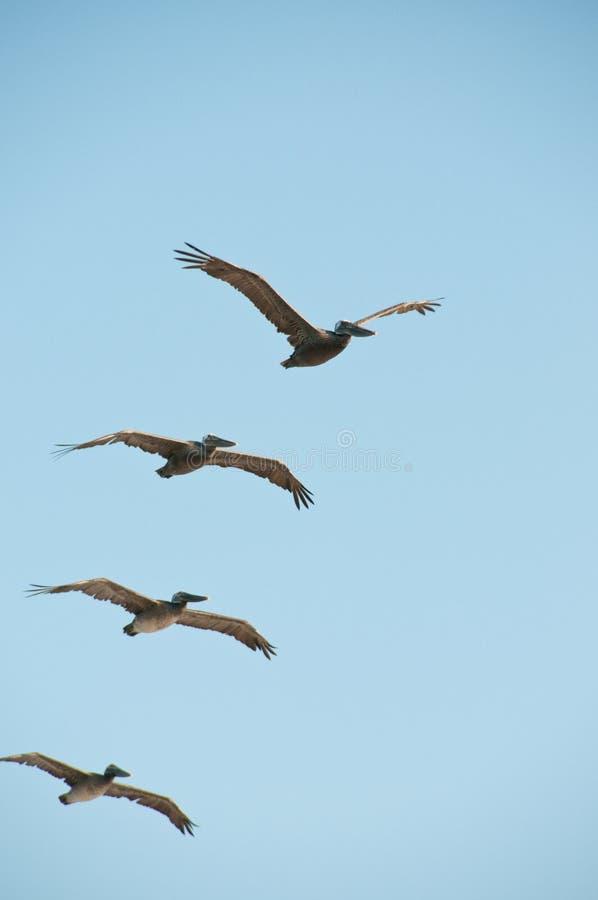 lotów pelikany obrazy stock