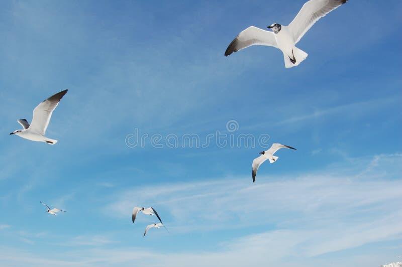 lotów seagulls obraz royalty free