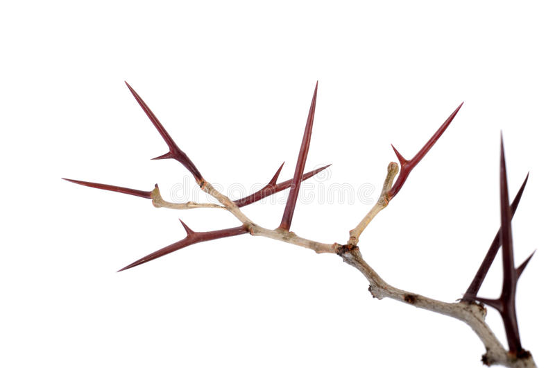 a lot of acacia branches with thorns isolated on white background. concept thorny wreath. danger stock photography