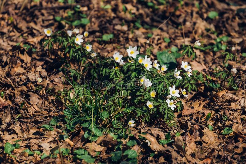 Lot of beautiful early spring flowers in the nature at park Maksimir, Zagreb, Croatia. A lot of beautiful early spring flowers in the nature at park Maksimir stock photos