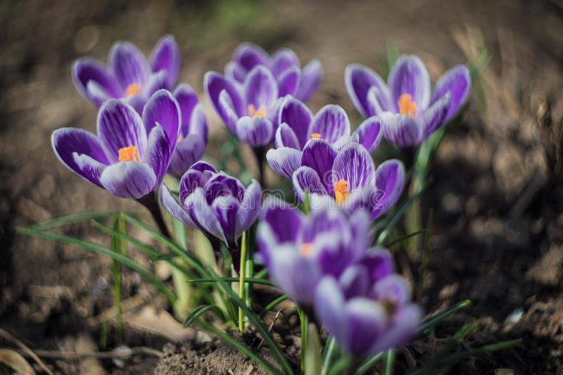 Lot of beautiful purple crocus flowers in spring day, top view royalty free stock photos