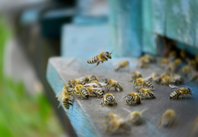 Lot of bees are flying. Lot of bees flying under their house and wants to drink water stock image
