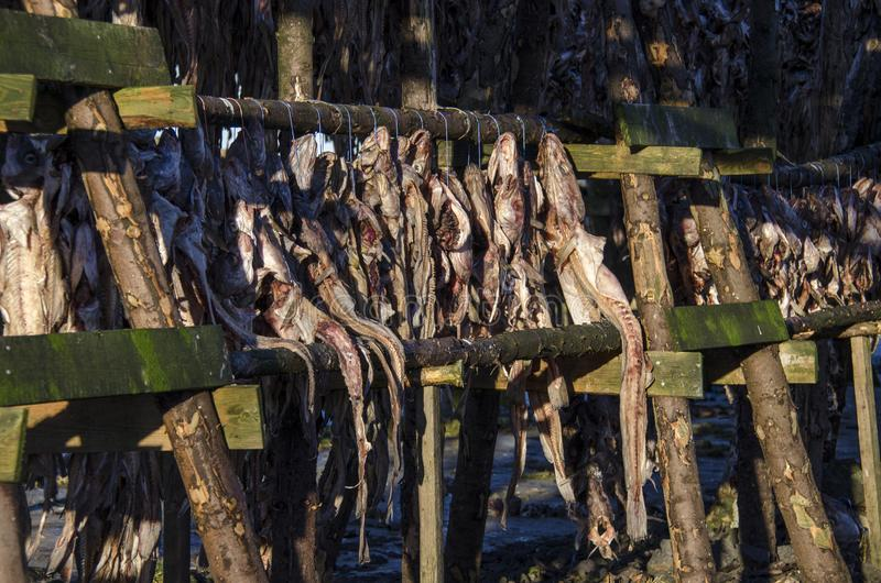 A lot of big fish is dried on wooden supports under the open sky stock image