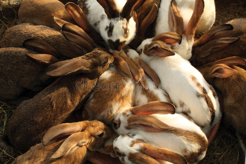 Domestic rabbits. A lot of brown and white domestic rabbits together outside royalty free stock photo