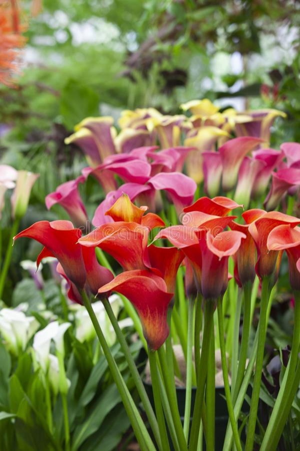 Lot of callalily royalty free stock images