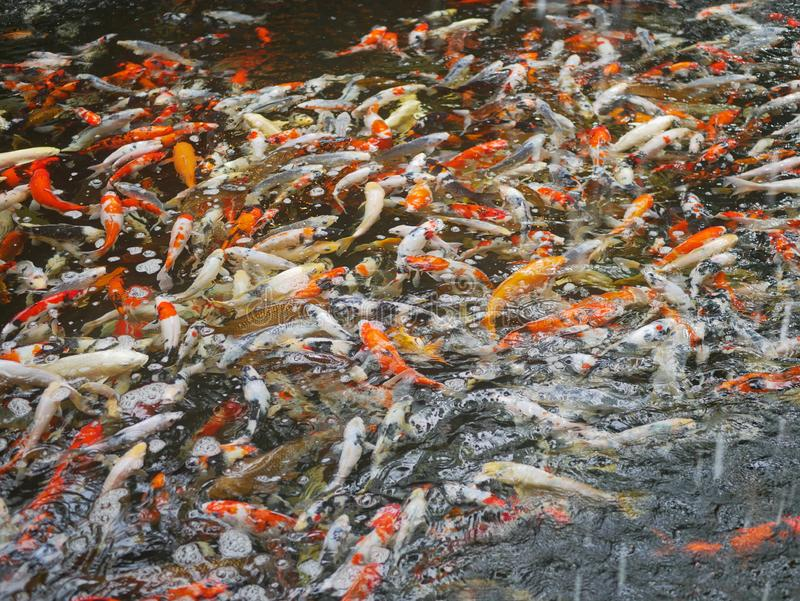 A lot of colorful carp / koi fishes for decoration swimming in the pond stock photography