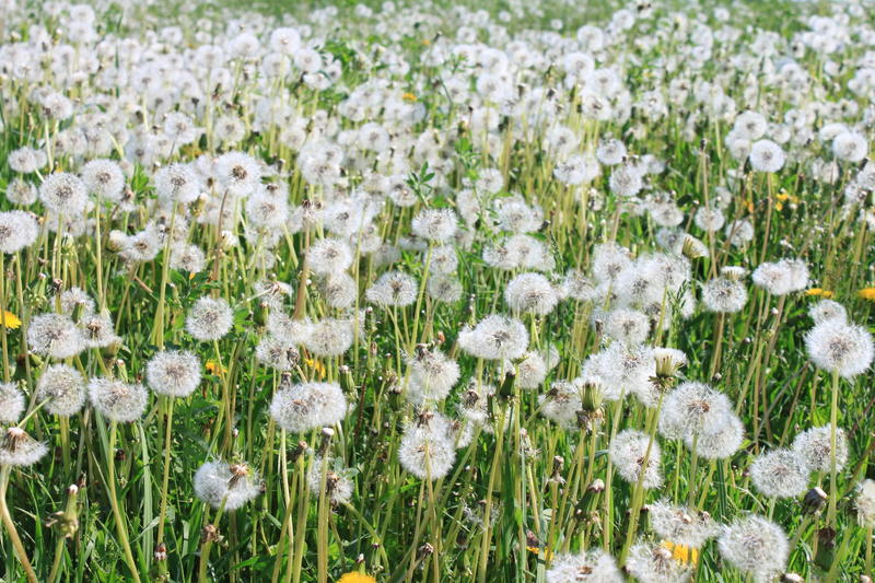 A lot of dandelions. In the summer royalty free stock photography