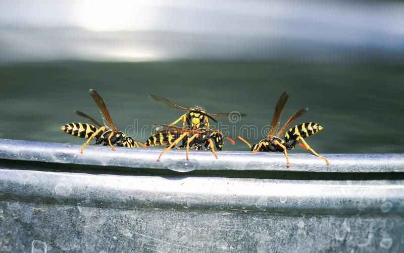 Lot of dangerous insects, wasps are on the edge of a metal bucket and fight for water. A lot of dangerous insects, wasps are on the edge of a metal bucket and stock photos