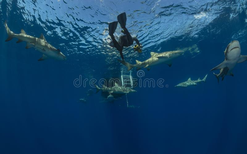 Lot of dangerous lemon sharks swim around scuba diver who want to run up on blue ocean background stock images
