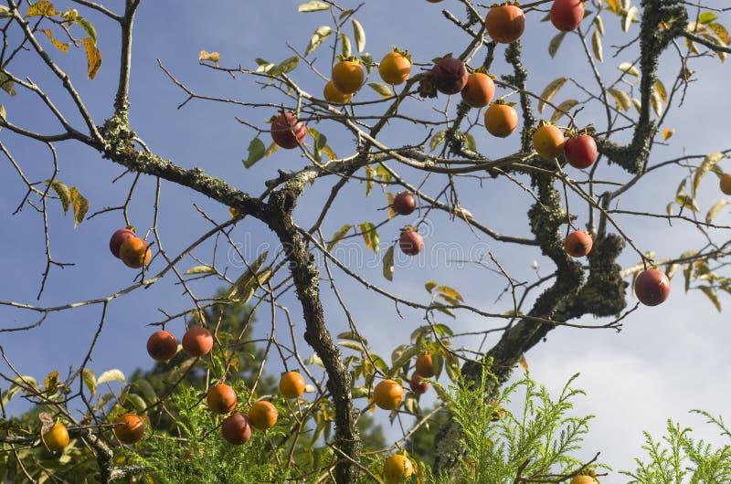 Persimmon kaki tree. Lot of Diospyros kaki, also called the persimmon, Oriental persimmon or kaki fruit growing on a tree royalty free stock images