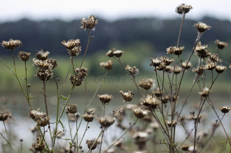 A lot of dry prickly plant in the field, background, autumn stock photography