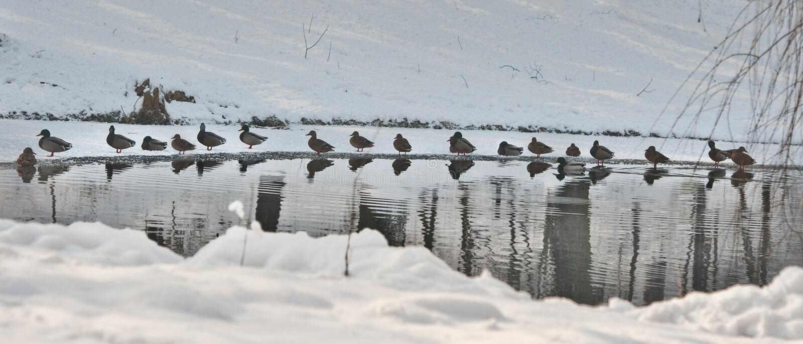 A lot of ducks near a small lake in cold winter day. Beautiful winter landscapes with snow, frozen lake and birds.  stock photography