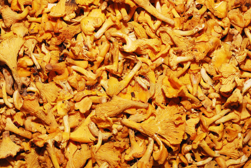 Download Lot Of Edible Mushrooms Close Up Stock Photo - Image: 21760526