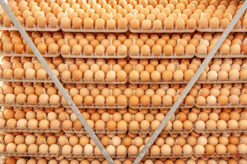 Lot of eggs on tray from breeders farm. Eggs in production line of selecting quality and healthy egg process in breeders incubation plant royalty free stock image