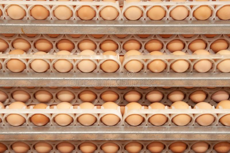 Lot of eggs on tray from breeders farm. Eggs in production line of selecting quality and healthy egg process in breeders incubation plant royalty free stock images