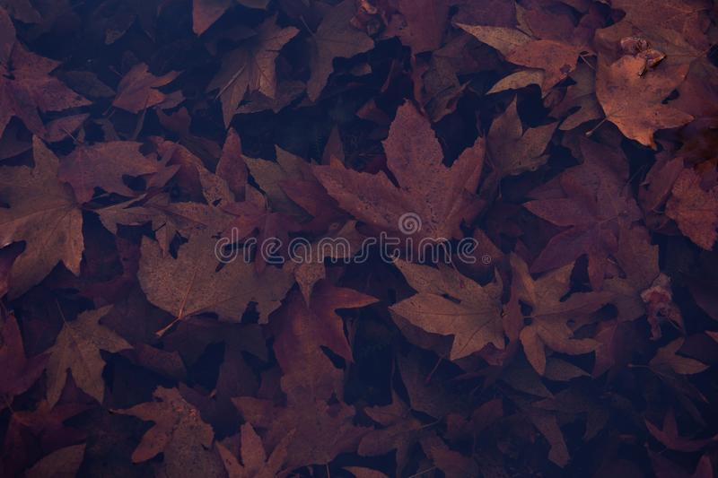 Lot of fallen dry maple leaves - great for a cool natural background. A lot of fallen dry maple leaves - great for a cool natural background stock image