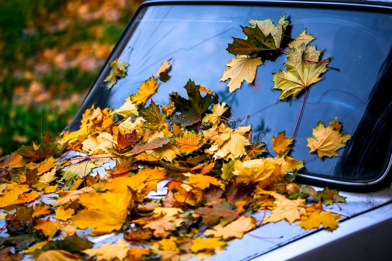 A lot of fallen maple leaves on old car bonnet - closeup autumn background with selective focus royalty free stock images