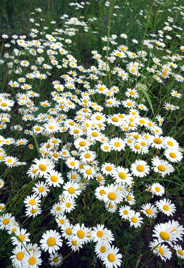 Lot of field daisy flowers on meadow in summer day closeup stock image